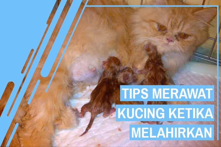 11 Tips Merawat Kucing Ketika Melahirkan Yang Benar