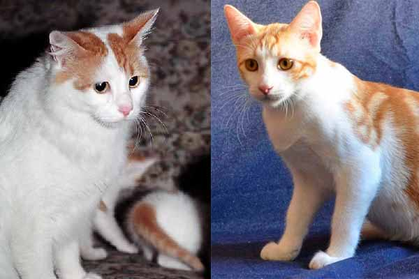 Kucing Anatolia