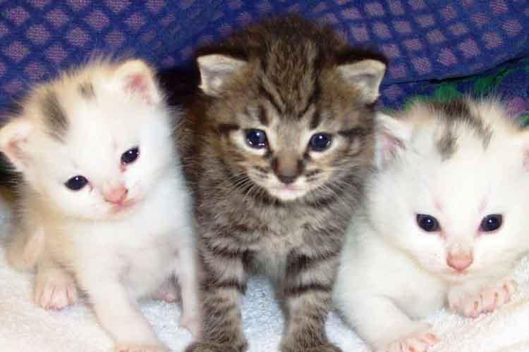 Anakan kucing anggora