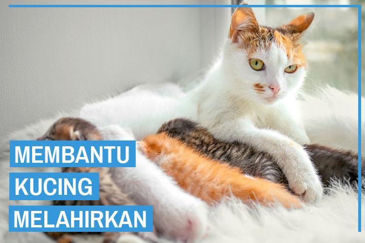 9 Cara Membantu Kucing Melahirkan Secara Benar