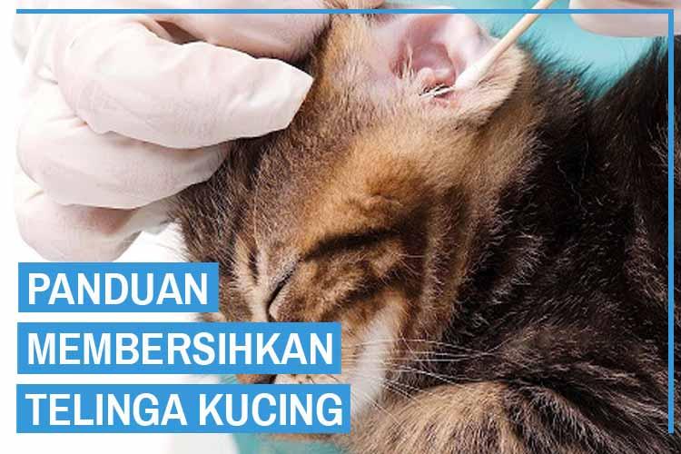 10 Cara Membersihkan Telinga Kucing yang Benar