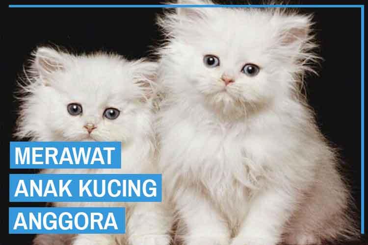 11 Cara Mudah Merawat Anak Kucing Anggora