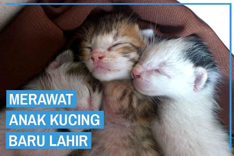 12 Cara Merawat Anak Kucing Baru Lahir
