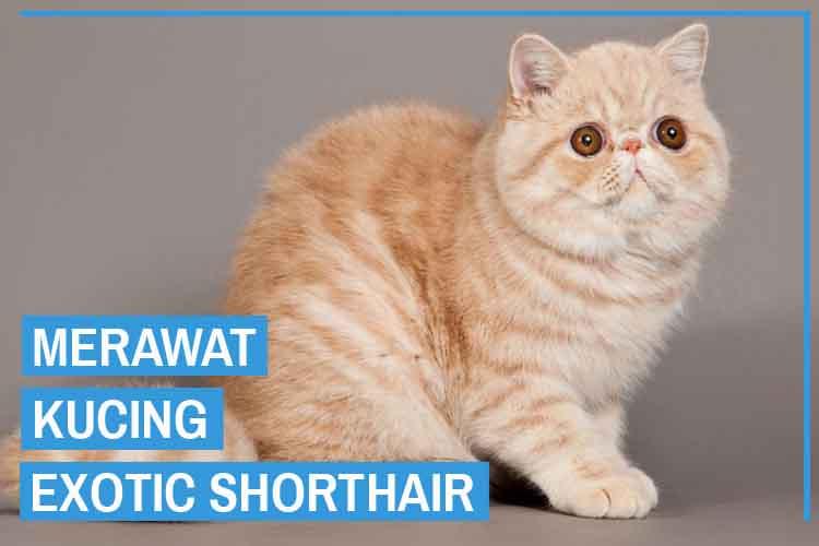 11 Cara Merawat Kucing Exotic Shorthair Untuk Pemula