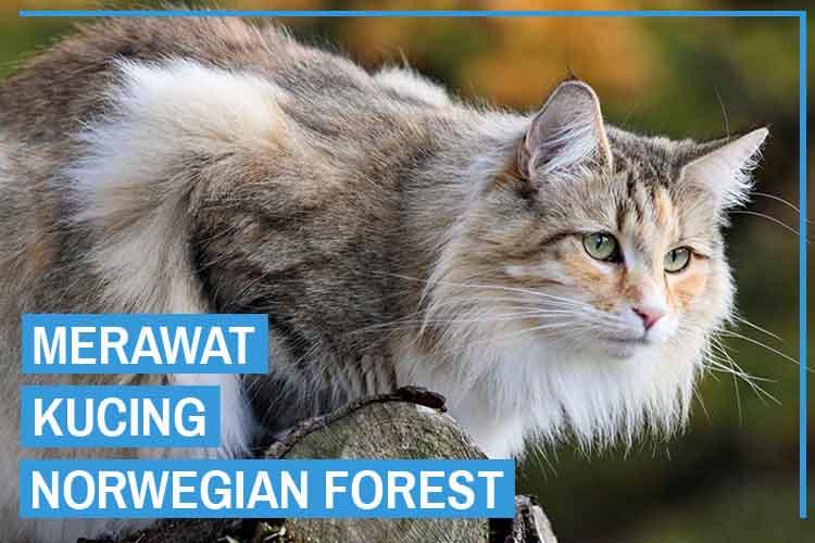 15 Cara Merawat Kucing Norwegian Forest Bagi Pemula
