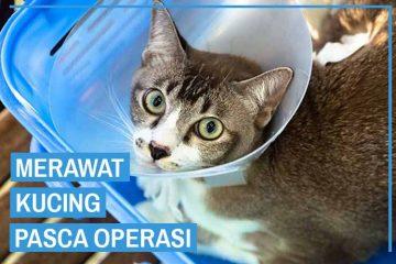 cara merawat kucing pasca operasi