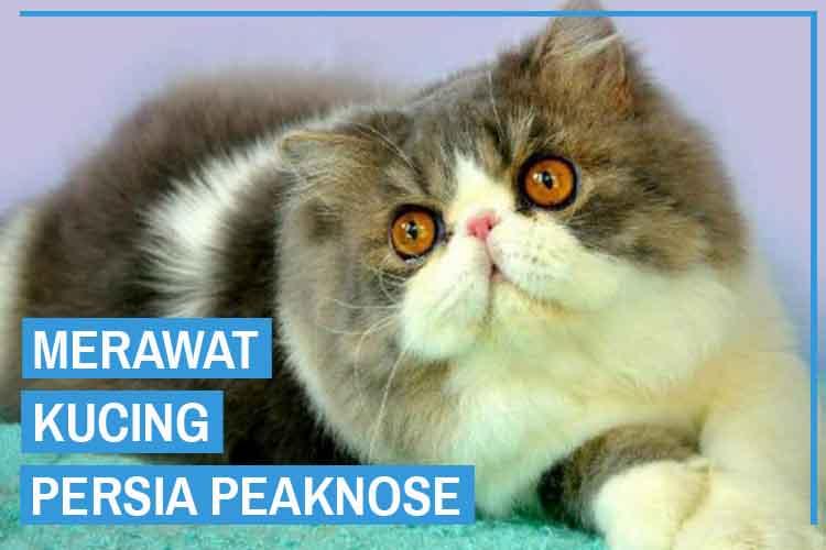 8 Cara Merawat Kucing Peaknose Agar Menjadi Sehat