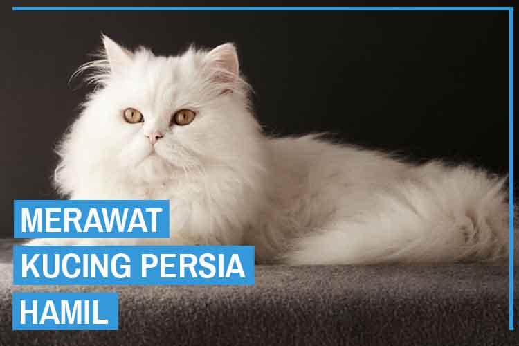 10 Cara Merawat Kucing Persia Hamil Yang Benar