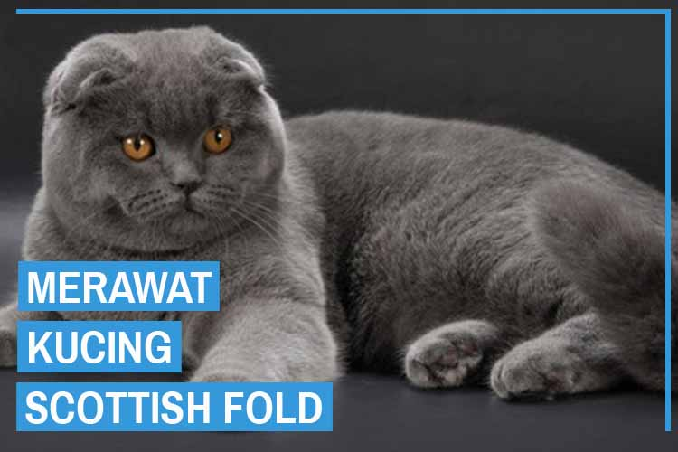 8 Cara Merawat Kucing Scottish Fold Yang Dianjurkan