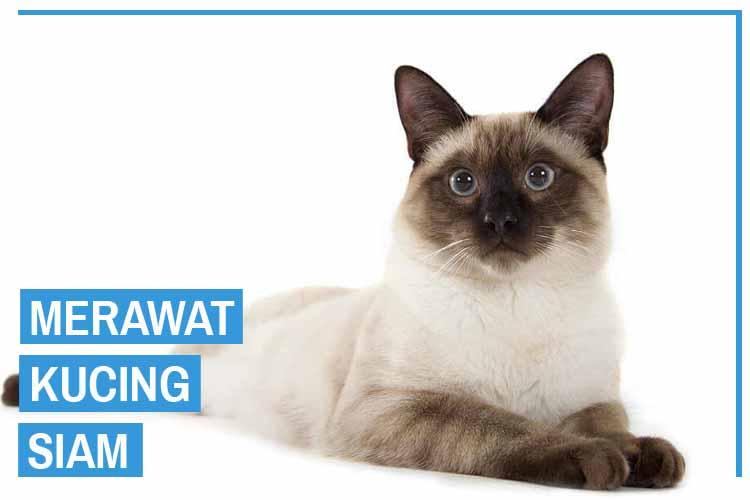 Cara Merawat Kucing Siam Dengan Benar