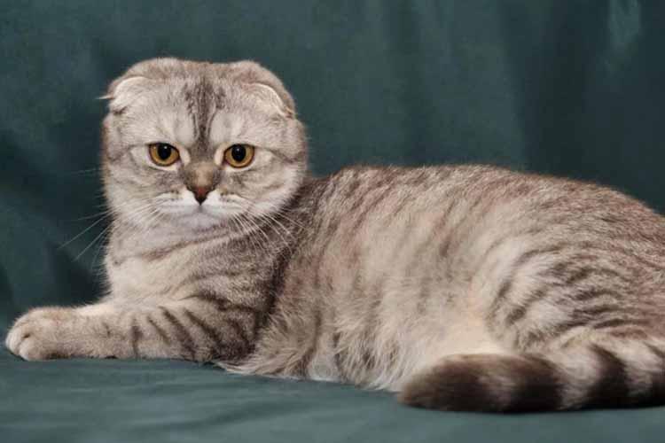 8 Cara Merawat Kucing Scottish Fold Yang Dianjurkan Kucingklik Com
