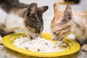 Kucing makan nasi