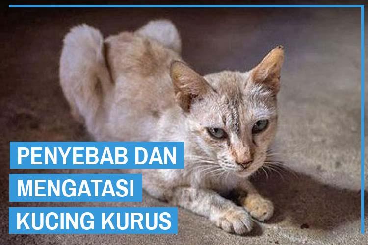 Penyebab dan Cara Ampuh Menangani Kucing Kurus