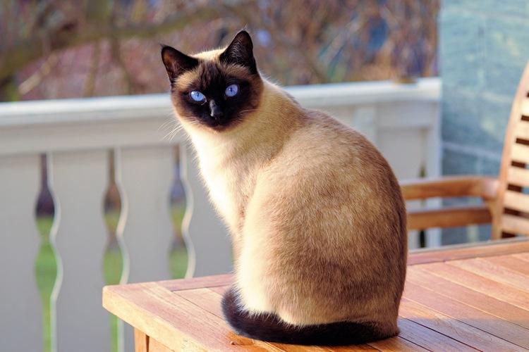 Perawatan kucing siamese