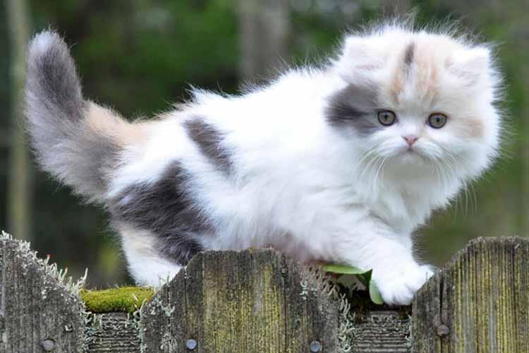 Kucing Munckin