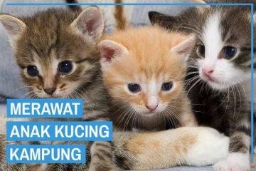 Perawatan anak kucing kampung
