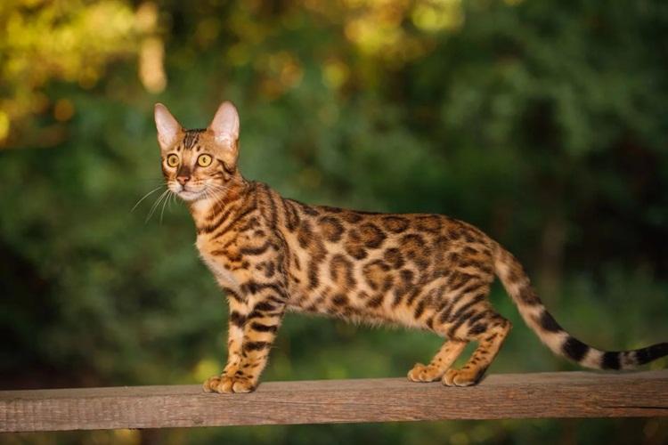 11 Cara Merawat Kucing Bengal dengan Baik dan Mudah
