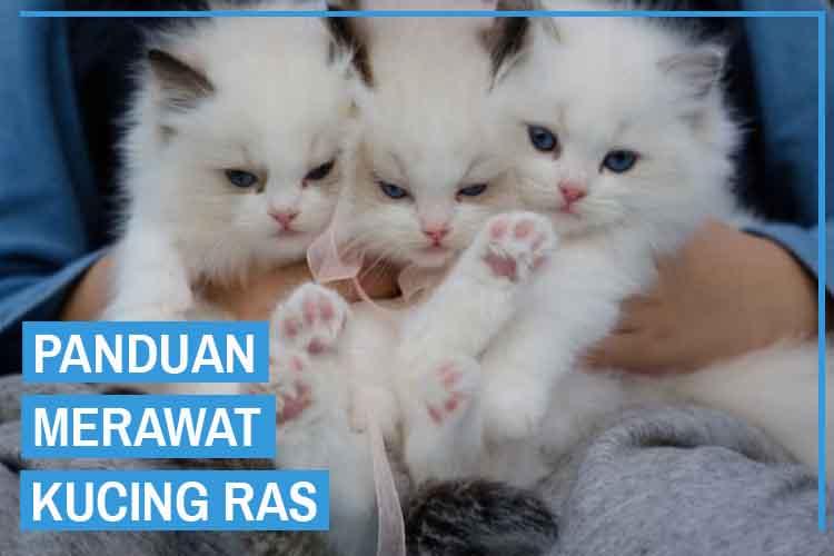 12 Cara Merawat Kucing Ras Secara Umum