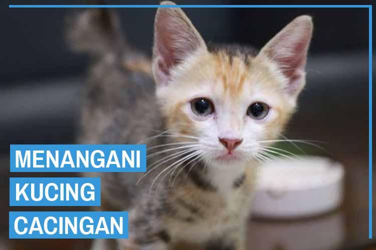 Cara Merawat & Mengobati Kucing Cacingan