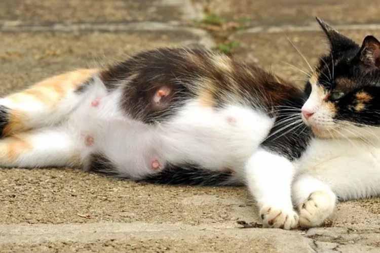 17 Hal Penting Diketahui Pada Kucing Hamil