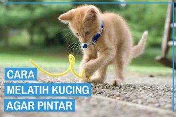 Cara melatih kucing agar pintar
