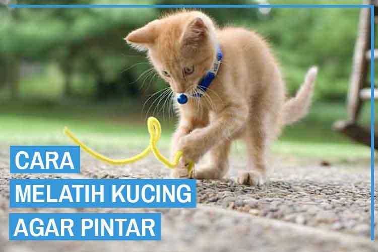 13 Cara Melatih Kucing Agar Pintar