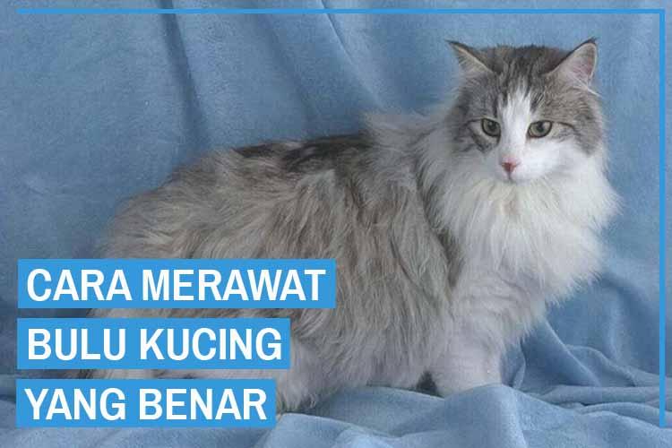 Cara Merawat Bulu Kucing yang Mudah dan Benar