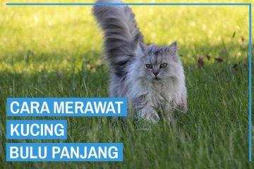cara merawat kucing bulu panjang