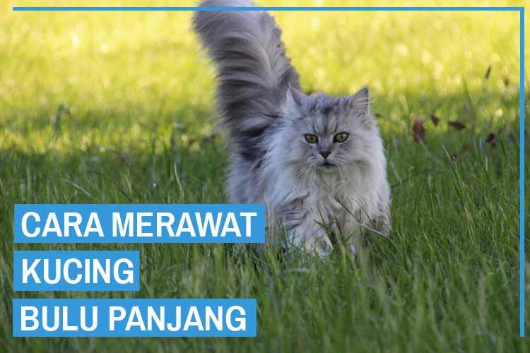 8 Cara Merawat Kucing Bulu Panjang Dari Para Ahli