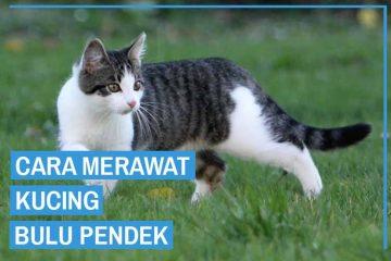 cara merawat kucing bulu pendek