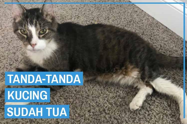Tanda-Tanda Kucing Sudah Tua Dan Perawatannya