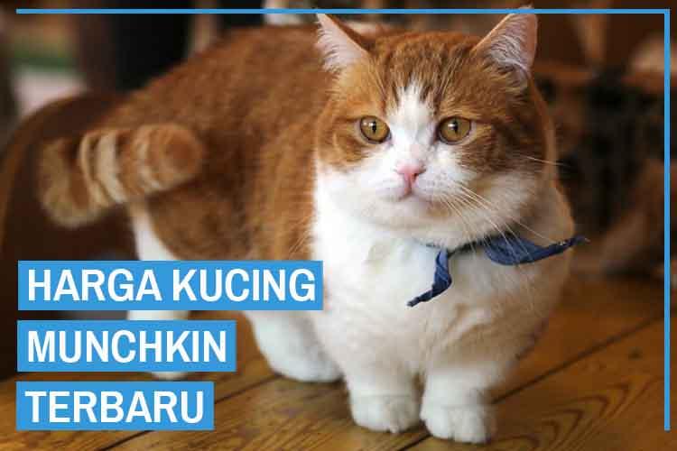 Harga kucing Munchkin