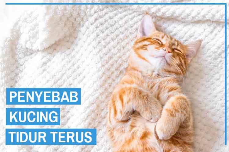 Penyebab Kucing Tidur Terus dan Solusi Mengatasinya