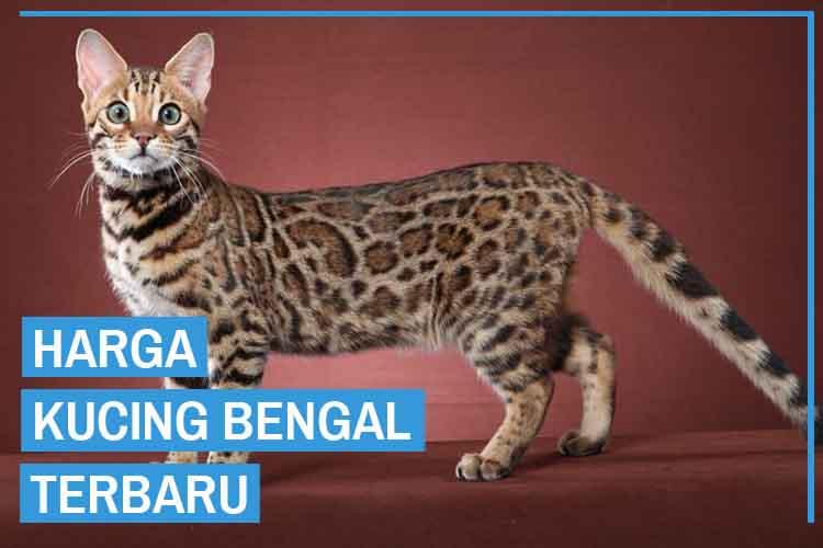 Update! Harga Kucing Bengal Semua Jenis Terbaru 2020