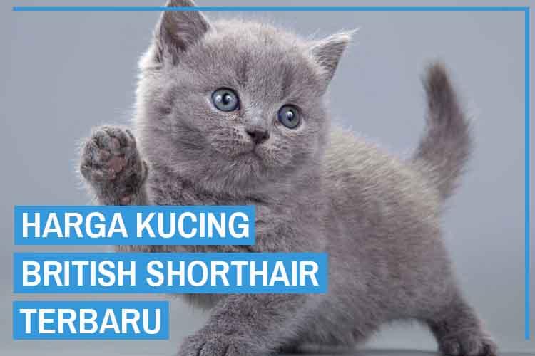 Update! Daftar Harga Kucing British Shorthair Terbaru 2020