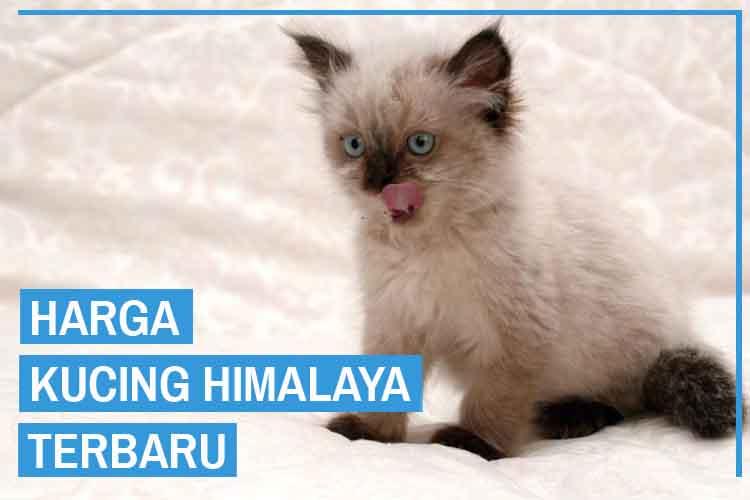 Daftar Harga Kucing Himalaya Semua Jenis Terbaru 2020