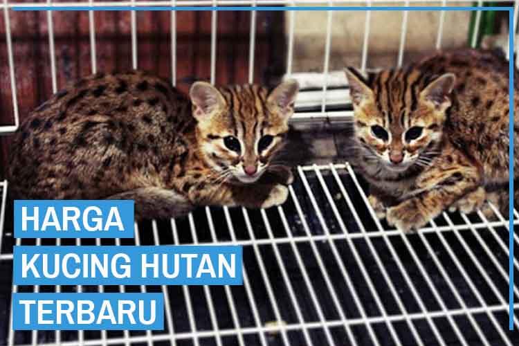 Update! Daftar Harga Kucing Hutan Semua Jenis Terbaru 2020