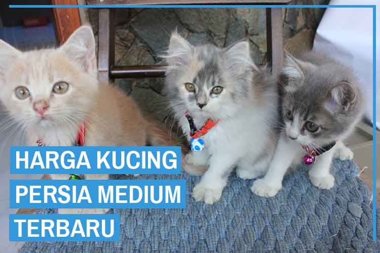 Update! Daftar Harga Kucing Persia Medium Terbaru 2020