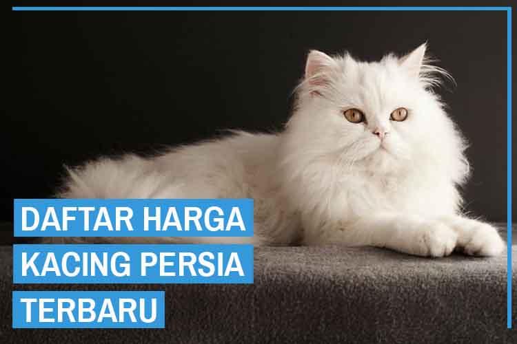 Update! Daftar Harga Kucing Persia Semua Jenis 2020