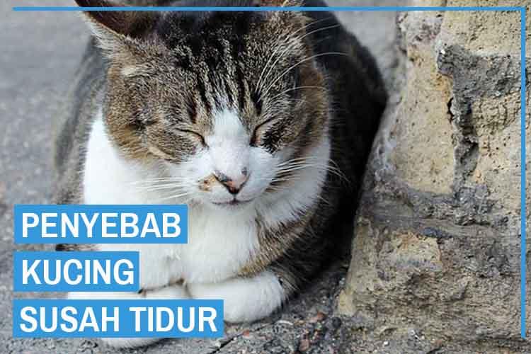 penyebab kucing susah tidur