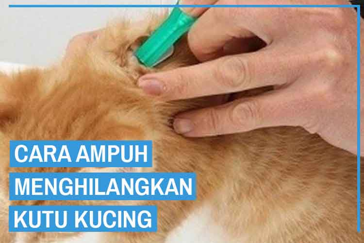 9 Cara Menghilangkan Kutu Kucing Dijamin Hilang!