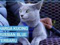 Harga kucing Russian Blue