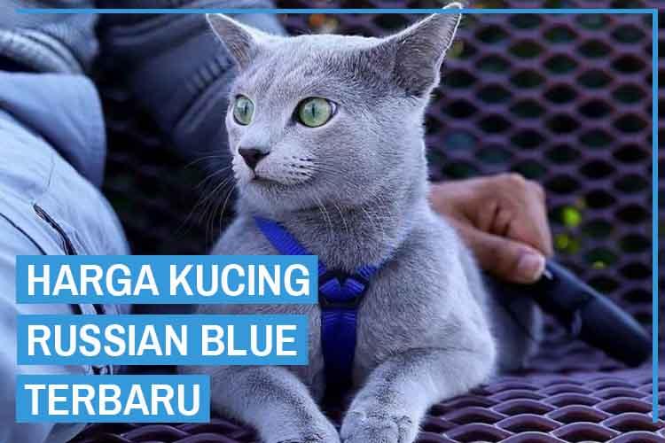 Update! Daftar Harga Kucing Russian Blue Terbaru 2020