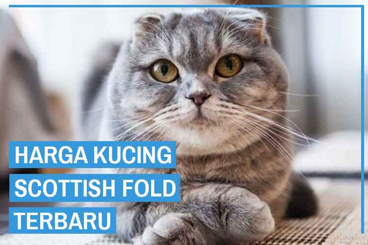 Update! Daftar Harga Kucing Scottish Fold Terbaru 2020