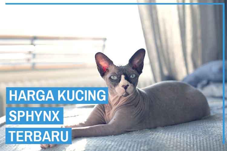 Update! Daftar Harga Kucing Sphynx Terbaru 2020