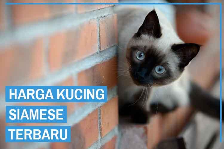Update! Daftar Harga Kucing Siamese Terbaru 2020