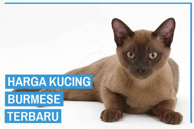harga kucing burmese