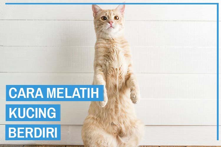 8 Cara Melatih Kucing Berdiri Mudah dan Terbukti Bisa
