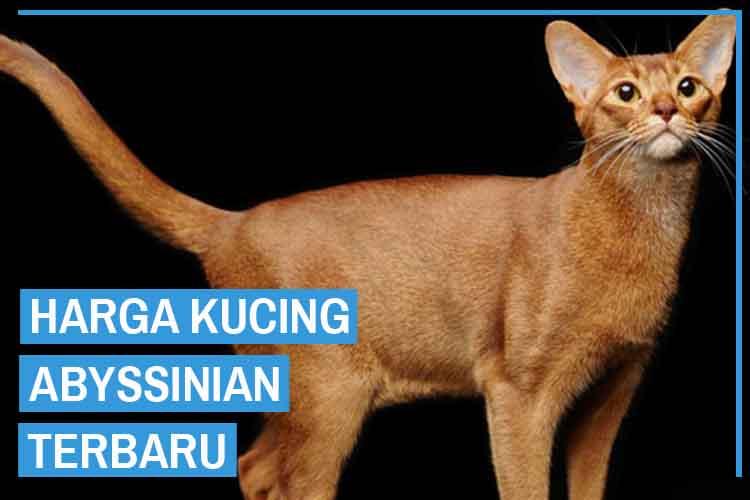 Update! Daftar Harga Kucing Abyssinian Terbaru 2020