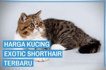 Harga kucing Exotic Shorthair Terbaru